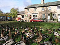 Feed the ducks at Dunsop Bridge!